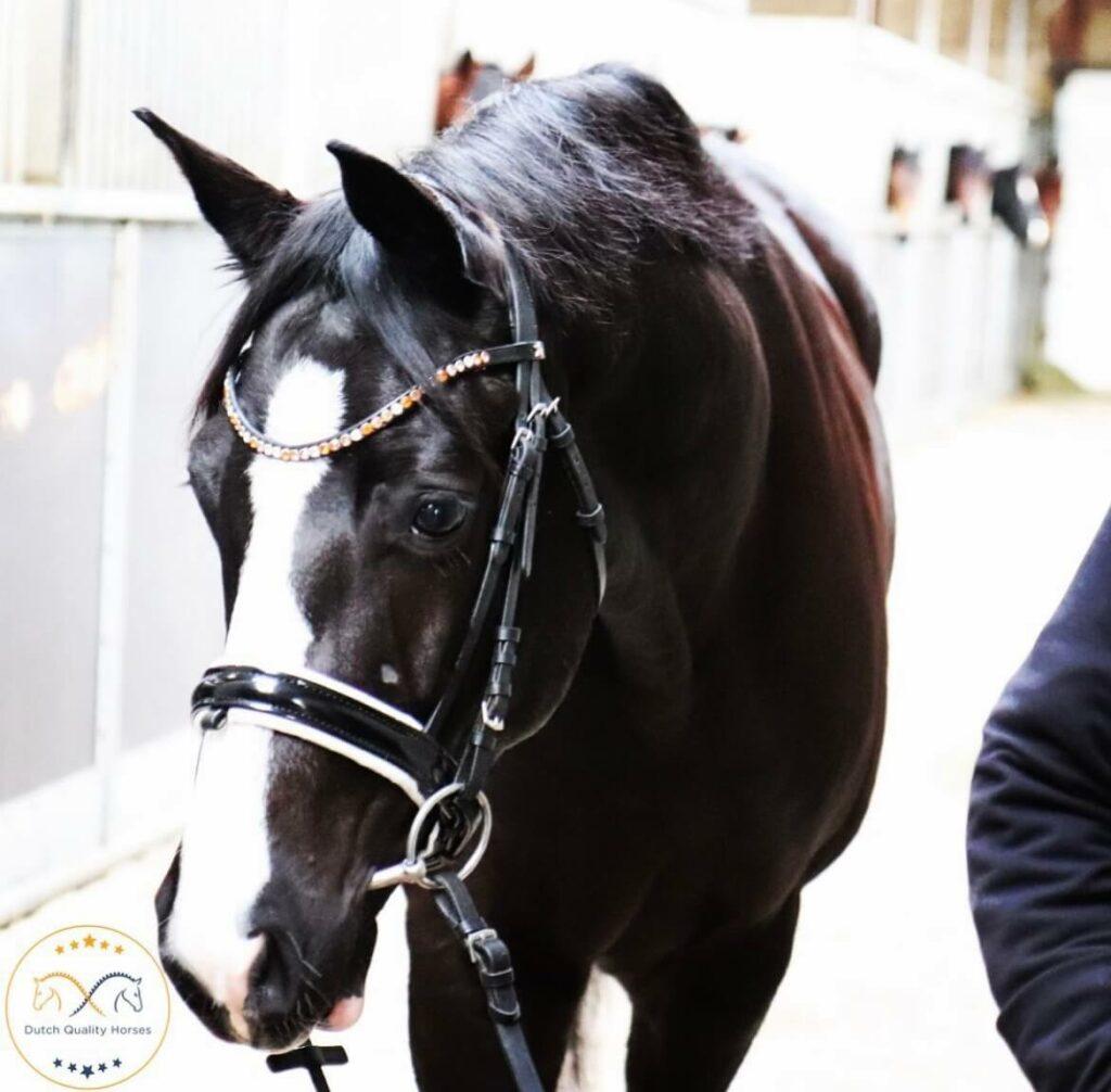 Hengst van Dutch Quality Horses met frontriem Single Smal